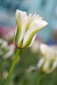 Witte Tulp sur Inge Schepers