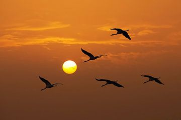 Kraanvogels von Sjoerd van der Wal