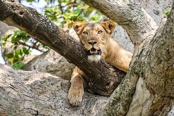 Oplettende leeuwin / Afrikaans landschap / Natuurfotografie / Oeganda van Jikke Patist