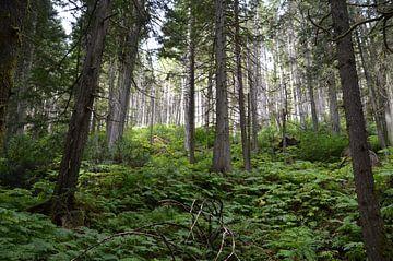 Redwood forrest canada van Marcel Schouten