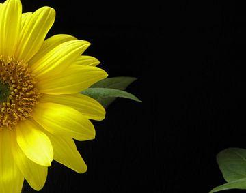 Blühende Sonnenblume für schwarzen Hintergrund von Corina Hoekstra
