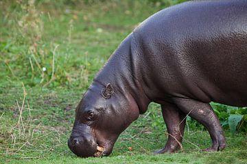 is een schattig nijlpaardje. van Michael Semenov