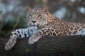 Lupaard op een tak van een boom van Joost Adriaanse