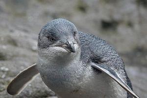 Kleine blauwe pinguin in Nieuw Zeeland