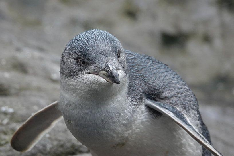 Kleine blauwe pinguin in Nieuw Zeeland van Aagje de Jong