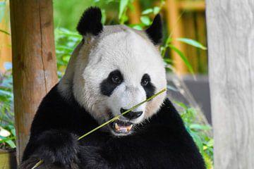 Lächelnder Panda von Esther van Engen