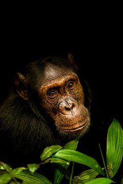 Schimpanse | Dunkles Tierportrait. von Gunter Nuyts