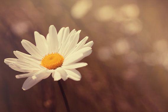 Daisy dreams von LHJB Photography