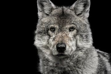 wolf von Jiske Wijmans @Artistieke Fotografie
