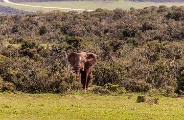 Elefant des Waldes von Photo By Nelis
