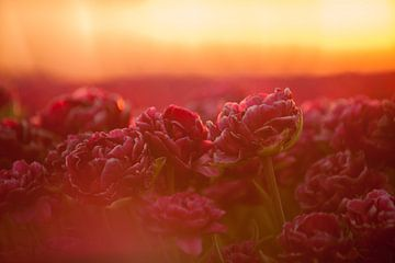 Tulp in het gouden licht van patricia petrick