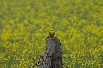 Vogel in geel van Martijn Feenstra