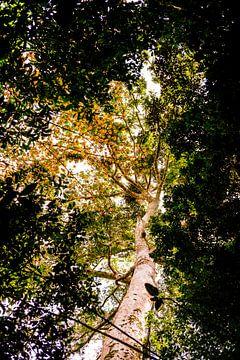 De bomen van Minca