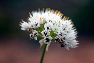 Wildblume von Angelika Stern