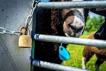 Knappe bruine schapen 8 van Urban Photo Lab