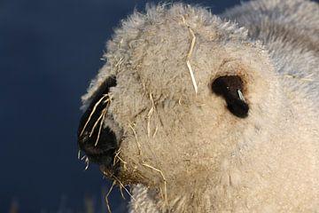 Close up van een schaap van Kim van der Lee