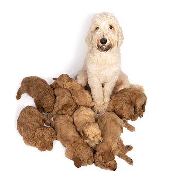 Nest van labradoodle pups slapend aan de voeten van hun moeder tegen witte achtergrond van Leoniek van der Vliet