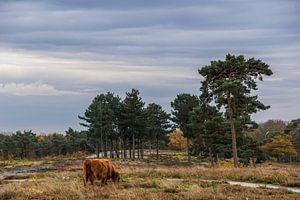 De Schotse Hooglander op de heidevelden in de Maasduinen