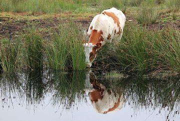 Kuh in Bargerveen. von Roel de Vries