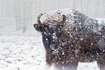 Wisent in de sneeuwstorm van gea strucks