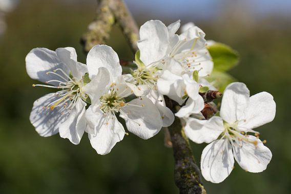 bloeiende pruimenbloesem close up aan de tak