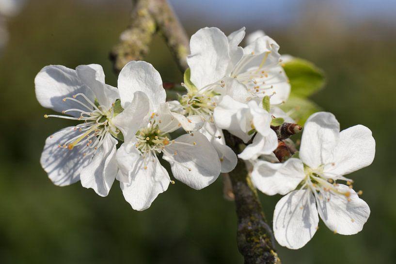bloeiende pruimenbloesem close up aan de tak  van Ger Beekes
