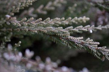 Heidekraut Blume von Julien Willems Ettori