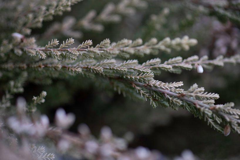 Fleur de bruyère sur Julien Willems Ettori