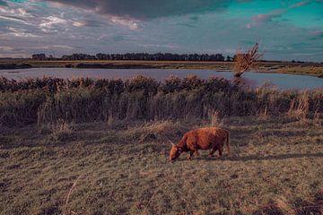 Schottische Highlander weiden im Biesbosch. von Cuci