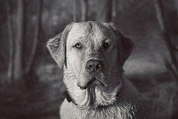 Mooie closeup van een labrador retriever van Kim Groenendal