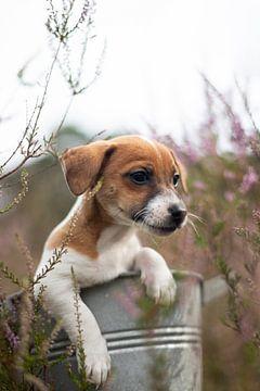 Jack Russell Terriër Puppy in de heide van Simon Peeters