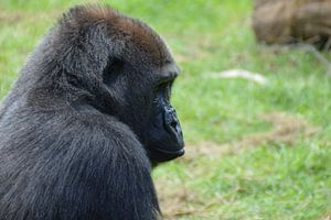 treurige gorilla