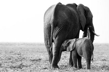Innige band tussen olifanten  van Lotje Hondius