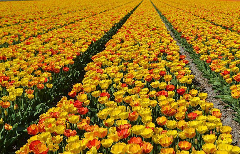 Tulpen in de Bollenstreek sur JTravel