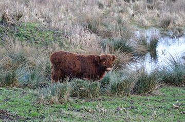 Schotse Hooglander in het moeras van Heleen de Silva