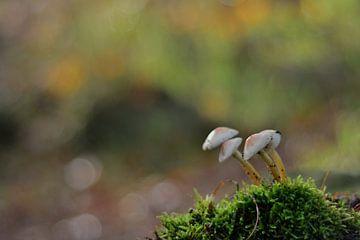 Pilz van Ferhat Yildiz