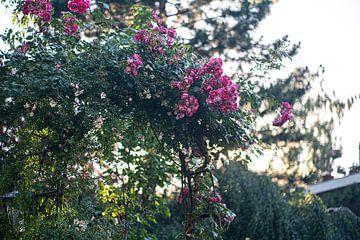 Roze rozen in bloementuin van John Ozguc