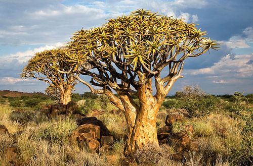 Kokerbomen in Namibië van