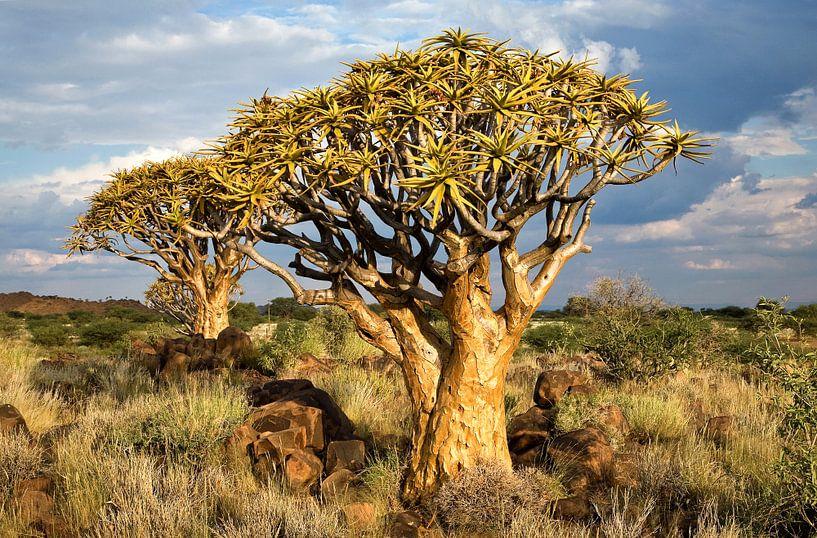 Kokerbomen in Namibië van Jan van Reij
