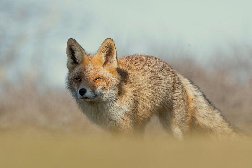 Red Fox portrait! van Robert Kok