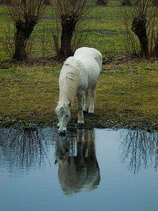 Pony van P van Beek