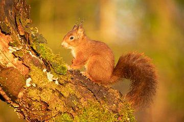 Ecureuil sur un tronc d'arbre sur Gert Hilbink