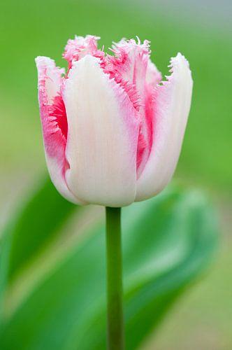 Wit-roze tulp 'Lovers Town' - Keukenhof