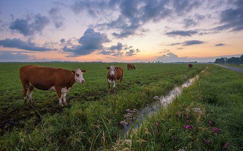 Koeien in de Polder na zonsondergang van