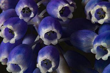 Blaue Trauben von Anne Ponsen