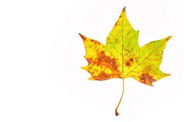 Kleurig herfstblad met een witte achtergrond van Carola Schellekens