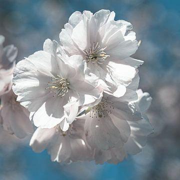 Makro Blüte weiss Kirschbaum im Frühling mit Bokeh von Dieter Walther