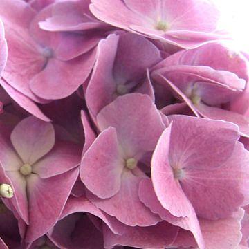 roze hortensia van Nicolet Reus