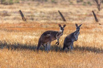 Kangoeroes van Joke Beers-Blom