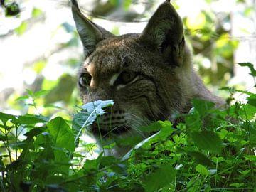 """lynx in the bush"" van Pascal Engelbarts"